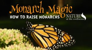 Monarch Magic: How to Raise Monarchs @ Nature At The Confluence Campus | South Beloit | Illinois | United States