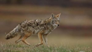 Coyote – The Misunderstood Trickster @ Nature at the Confluence