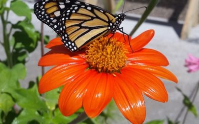 Help Bring Back The Monarch! Resources and Links