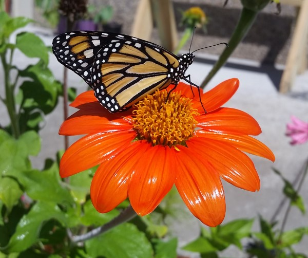 monarch on tithonia mexican sunflower Illinois Wisconsin