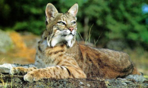 The Reclusive Native Cat - The Bobcat @ Nature at the Confluence | South Beloit | Illinois | United States