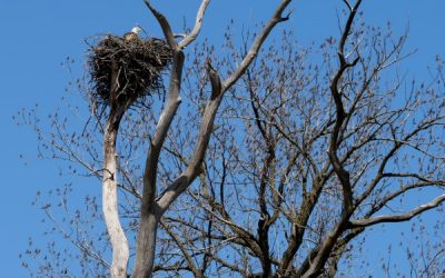 Is the Boney Island eagle nest tree strong enough to hold nest?