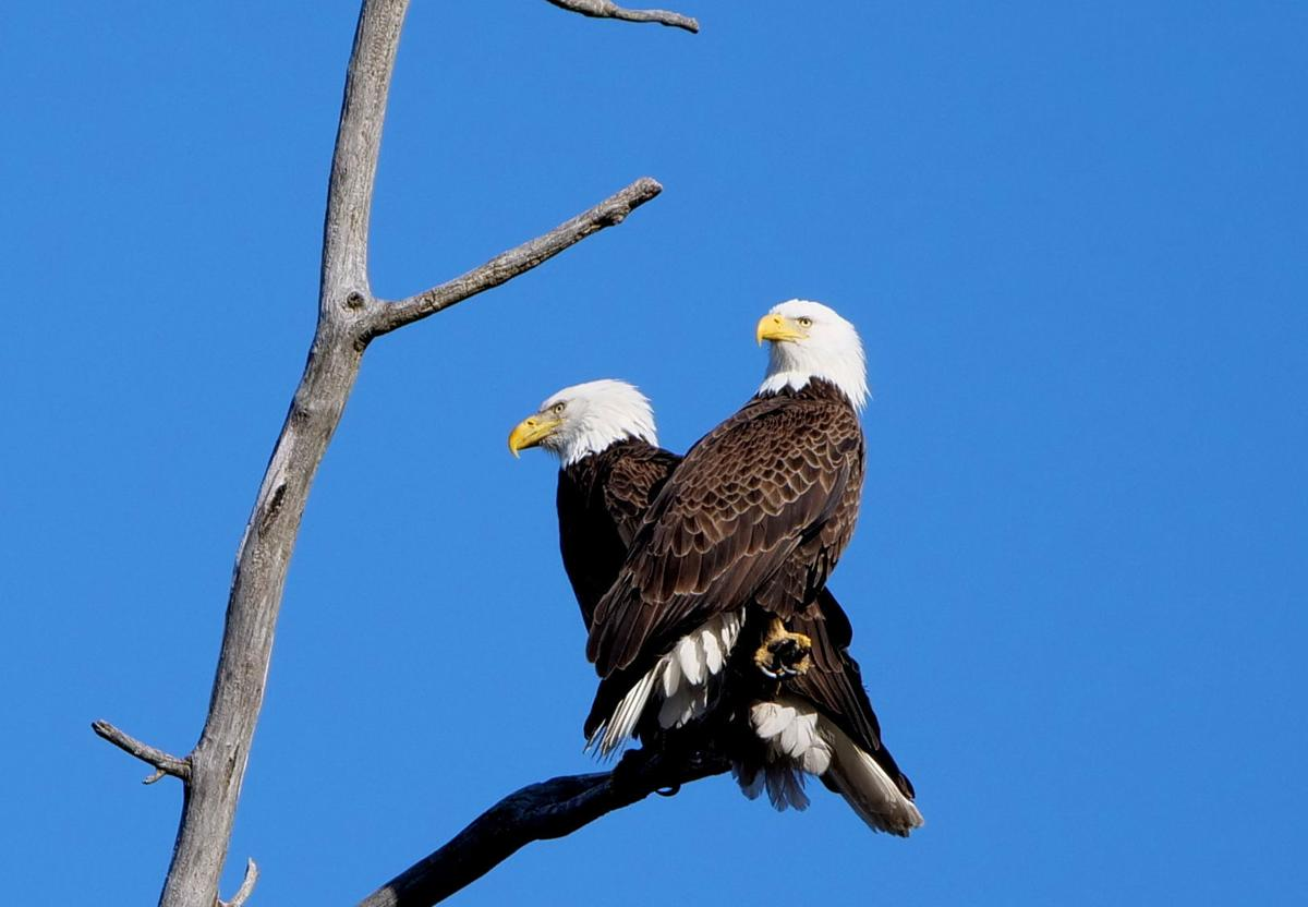 Boney Island Eagles Update Nature At The Confluence
